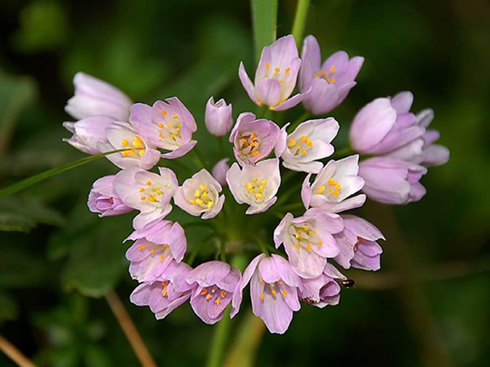 allium roseum (aglio rosa)