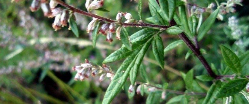 Artemisia vulgaris L.
