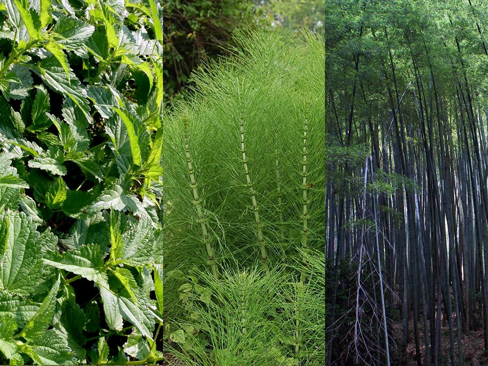 Silicio organico: ortica, equiseto, bambù