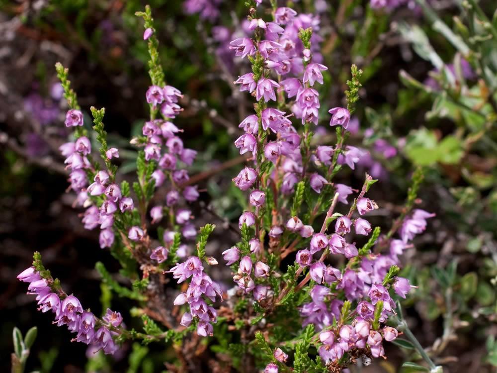 Ericaceae: brugo, calluna vulgaris