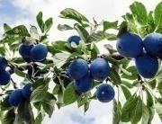 La lotta al cancro passa dal Prunus dell'Appennino: il Trigno