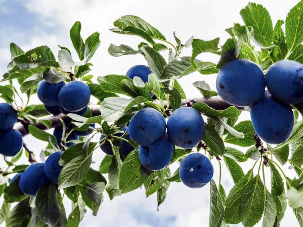 Prunus molisano conto i tumori: il Trigno