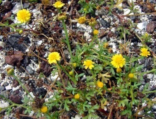 Camomilla d'oro (Chrysanthellum Americanum L.):  la pianta che rompe la pietra