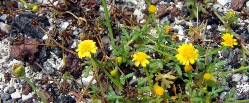 Chrysanthellum - camomilla d'oro