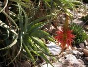 Aloe arborescens: «Il mio segreto per guarire quasi tutto»