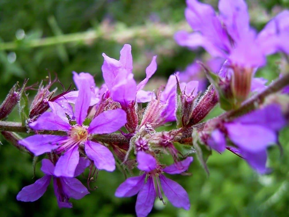 Salcerella Lythrum salicaria L 1753