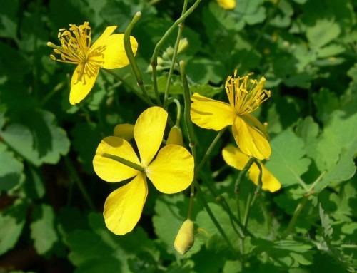 Celidonia: la pianta che fa piangere o cantare