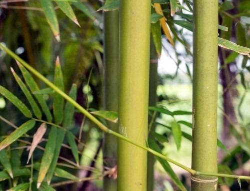 Il bambù: un'immensa ricchezza minerale per l'organismo