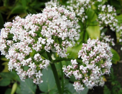 Valeriana: l'incudine vegetale per un sonno di piombo