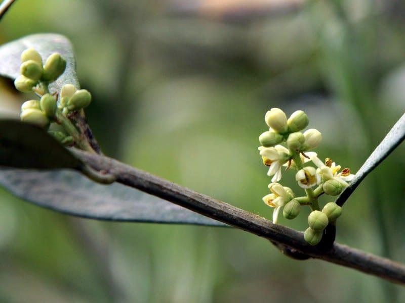 olivo germogli