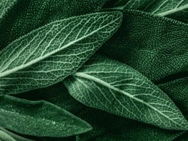 Salvia proprietà e ricette