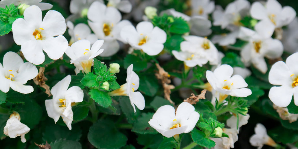 Fiore di Bacopa monnieri